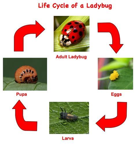 interesting fact about ladybugs just facts 651 | life cycle ladybug