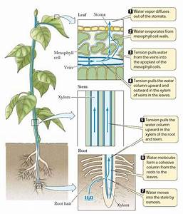 a. Plant transport - BIOLOGY4ISC
