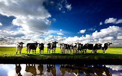 Cow Dairy Wallpapers