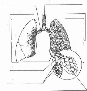 Label The Lungs Diagram