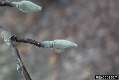 buds tree care saucer magnolia magnolia x soulangiana magnoliales magnoliaceae 0008517