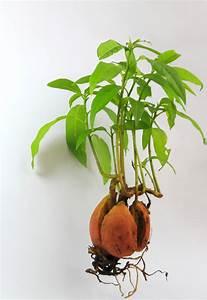Avocado Baum Pflege : avocado vermehren diese m glichkeiten gibt es ~ Orissabook.com Haus und Dekorationen