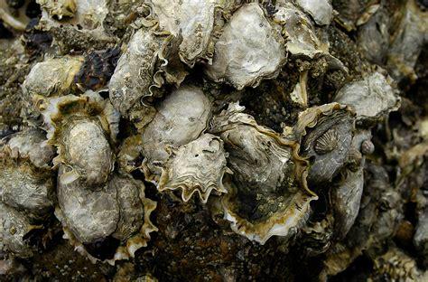 cuisine et terroirs les huîtres cuisine à l 39 ouest