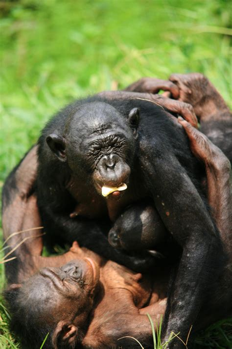 bonobos  strangers   asked eurekalert