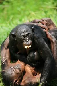 Web Portals Bonobos Help Strangers Without Being Asked Eurekalert