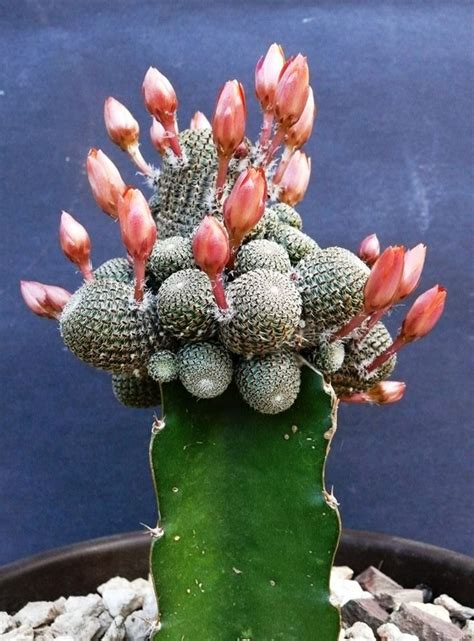 grafted cactus 25 best ideas about grafted cactus on pinterest badminton photos cactus and outdoor cactus