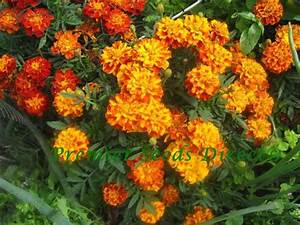 French Marigold Sparky Mix Flowers Premier Seeds