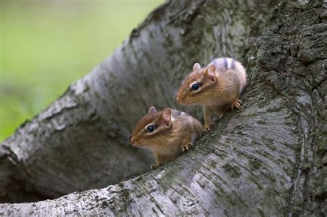Back In The Usa Baby Chipmunks In Valley Forge Today