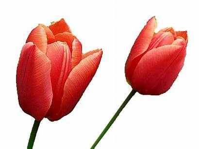 Tulip Tulips Transparent Clipart Yellow Rose Background