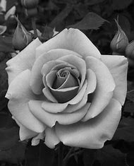 Best Rose Drawings Black And White Ideas And Images On Bing Find