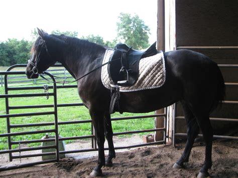 cross quarter horse lusitano horses horseclicks ultimate