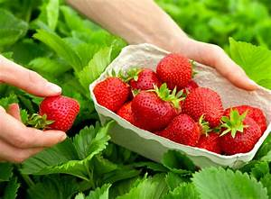 Erdbeeren Richtig Pflanzen : erdbeeren pflanzen balkon erdbeeren auf balkon pflanzen ~ Lizthompson.info Haus und Dekorationen