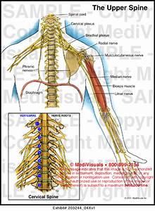 Medivisuals The Upper Spine Medical Illustration