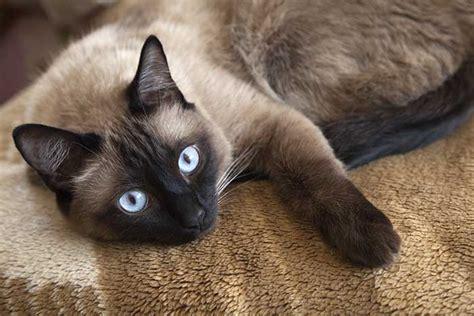 siamese cats cat much cost kot syjamski siames siameser gato orientalnej uosobienie elegancji google om sida och zwierzaki costs avions