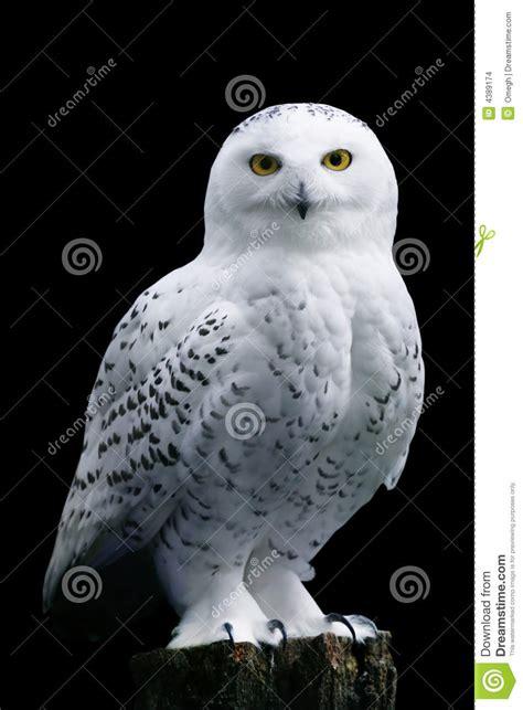 snow owl  black background stock images image