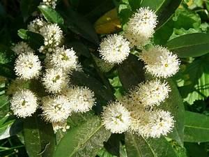 Kirschlorbeer Braune Blätter : bek mpfungsma nahmen braune bl tter bei kirschlorbeer ~ Lizthompson.info Haus und Dekorationen