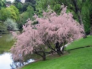 Arbustes Décoratifs à Fleurs : tamaris tamarix conseils de culture ~ Premium-room.com Idées de Décoration