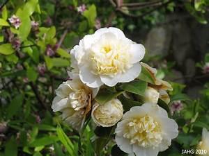 Camellia Japonica Winterhart : camellia japonica akashi gata name that plant ~ Eleganceandgraceweddings.com Haus und Dekorationen