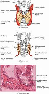 Physiology Of The Endocrine System