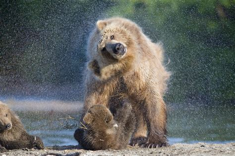 wallpaper bear kamchatka russia animals