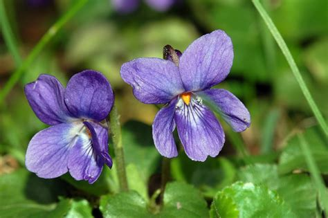 viola flower flower violets and pansies three hundred and sixty six
