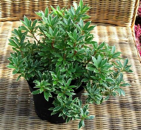 pieris japonica variegata schattengloeckchen