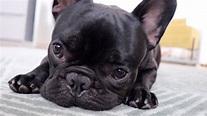Geht es Knödel gut? Qualzucht - Französische Bulldogge ...