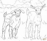 Coloring Goats Baby Goat Pages Nubian Boer Drawing Printable Supercoloring Pygmy Drawings Print Sheets Ausmalbild Animals sketch template