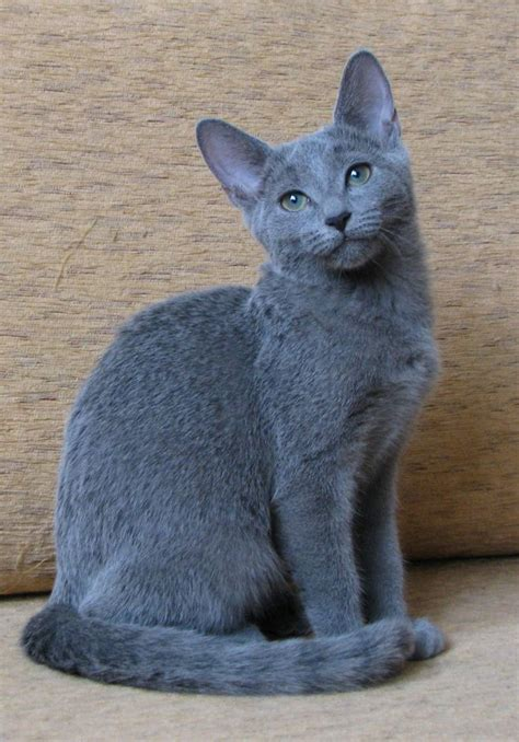 Blue Cats - 25 best ideas about russian blue cats on blue