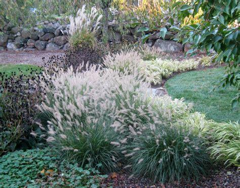 pennisetum alopecuroides hameln grass pennisetum alopecuroides hameln