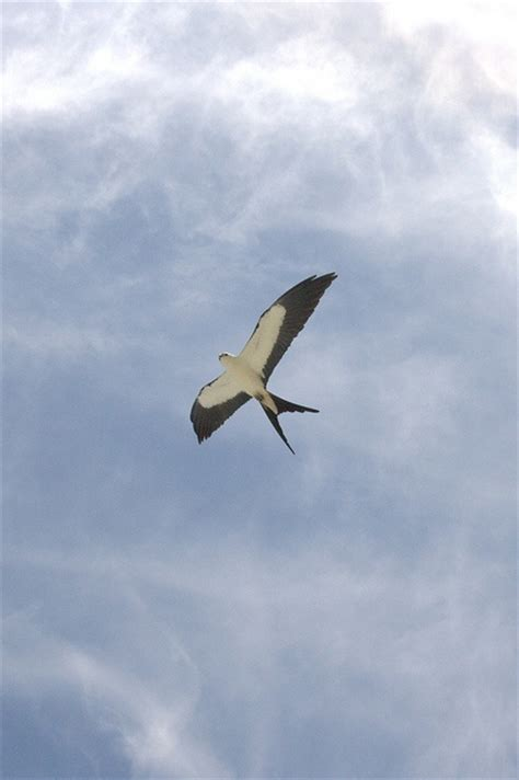 36 Best Images About Kite Tail Birds  Swallow On