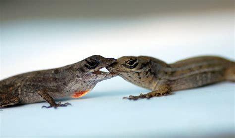 anole lizard aggression neil losin  natural