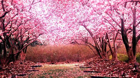 cherry blossom tree l cherry blossom tree for your garden cherry tree