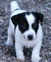 Jack Russell Terrier in white with black spots.jpg (3 ...