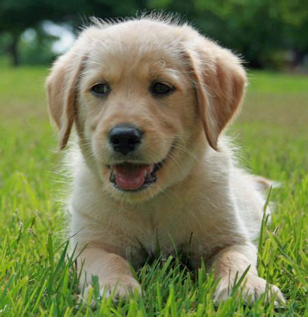 The 25 Best Golden Retriever Lab Mix Ideas On Pinterest Labrador