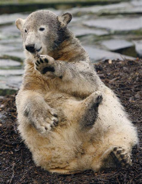 turned cute  knut  polar bear   psycho