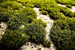 Without Oxygen From Ancient Moss You Wouldn U0026 39 T Be Alive