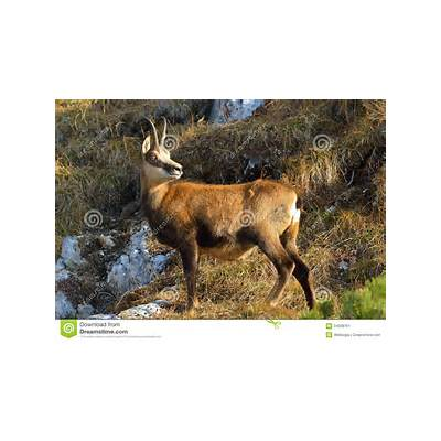 Chamois - Rupicapra Stock Image Image: 34608761