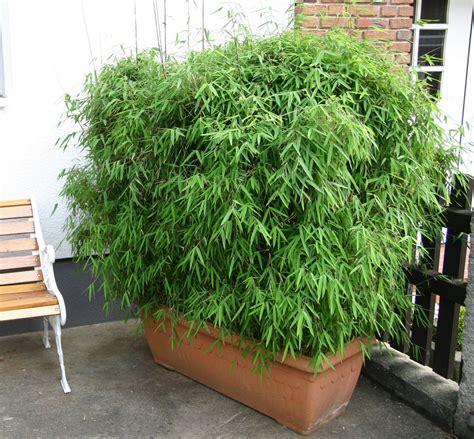 bambus pflanzen sichtschutz unique balkon sichtschutz