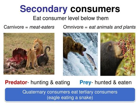 secondary consumers else everything connected law tertiary quaternary eat snake predator eagle eating prey ppt powerpoint presentation