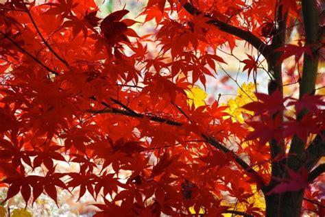 japanischer ahorn  ahorn arten und pflegetipps fuer den