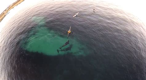 kayakers encounter  orcas videotaped  drone pete thomas outdoors