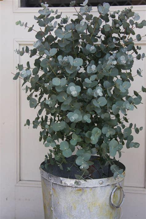 Schöne Pflanzen Für Die Wohnung by Eukalyptus F 252 R Die Terrasse Garten Pflanzen