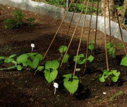 bohnen anbauen anleitung bohnen pflanzen anleitung zum anbauen bohnen gardening tips ideas