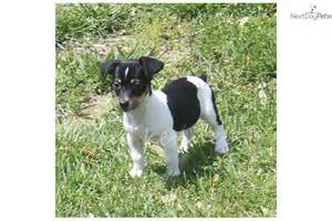 rat terrier dog funny puppy dog pictures