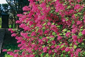 Blühende Pflanzen Winterhart : pflanzen f r hecken hecken ratgeber garten schl ter ~ Michelbontemps.com Haus und Dekorationen