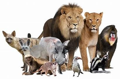 Lion King Characters Animal Main 2008 Deviantart
