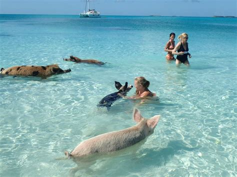 swim   pigs harbour safaris