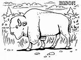 Bison Coloring Pages Realistic Animals Animal Buffalo Grassland Printable Water Farm Extinct American Prairie Getcolorings Gun Coloringbay Getcoloringpages Face Popular sketch template