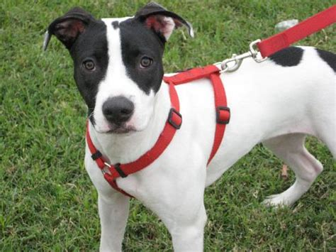 American Staffordshire Terrier Mixed Breed